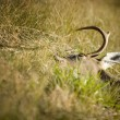 Stock Photo: Dead Animal Lying In Grass