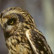Stock Photo: Short-Eared Owl