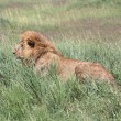 Male Lion In Tall Grass, Masai Mara National Reserve, Kenya, Africa — Stock Photo