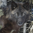 Stock Photo: Black Timber Wolf