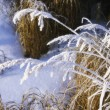 Closeup Of Frost On Grasses — Stock Photo #31678803