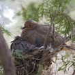 Stock Photo: Dove Mother With Baby Sitting In Nest
