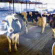 Dairy Cows In A Barn — Stock Photo