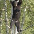 Black Bear Cub Standing In Tree — Stock Photo #31679351