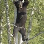 Black Bear Cub Standing In Tree — Stock Photo