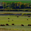 Herd Of Cows Grazing — Stock Photo #31679569