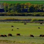 Herd Of Cows Grazing — Stock Photo