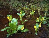 Skunk Cabbage Growing In Rainforest — Stock Photo