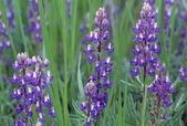 Flowering Purple Lupine Blossoms — Stock Photo