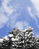 Sneeuw overdekte boom — Stockfoto