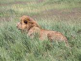 Male Lion In Tall Grass, Masai Mara National Reserve, Kenya, Africa — Stock Photo