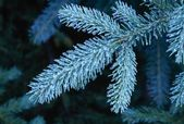 Close Up Of Frozen Pine Needles — Stock Photo