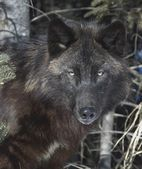 Black Timber Wolf — Stock Photo