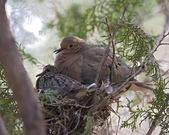 Dove Mother With Baby Sitting In Nest — Stock Photo