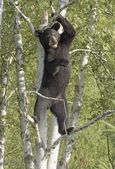 Black Bear Cub Standing In Tree — Stock Photo