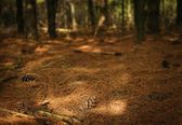 Pine Needles On Forest Floor — Stock Photo