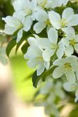 White Crab Apple Blossoms — Stock Photo