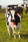 Dairy Cow — Stock Photo