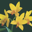 Yellow Orchids — Stock Photo #31680435