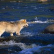 Gray Wolf, Crossing River — Stock Photo