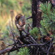 Stock Photo: Red Squirrel Eating Pine Cone