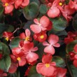Stock Photo: Flowering Begonia