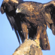 Perched Golden Eagle — Stock Photo