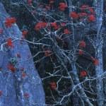 Mountain Ash Berries — Stock Photo
