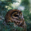 Mexican Spotted Owl In Tree — Stock Photo