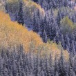 Autumn Aspen Grove Surrounded By Snow Dusted Evergreen Forest, SJuMountains, Colorado, Usa — Stock Photo #31681111