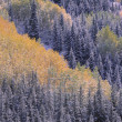 Stock Photo: Autumn Aspen Grove Surrounded By Snow Dusted Evergreen Forest, SJuMountains, Colorado, Usa