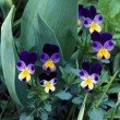 Stock Photo: Miniature Violas