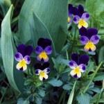 Miniature Violas — Stock Photo
