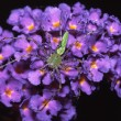Stock Photo: Green Lynx Spider Sitting On Butterfly Bush