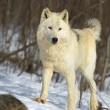 White Timber Wolf — Stock Photo #31681679
