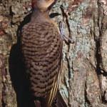 Flicker Bird On A Tree — Stock Photo #31681803