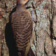 Stock Photo: Flicker Bird On Tree