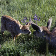 Stock Photo: Black Tailed Fawn And Doe Touch Noses In Meadow, Hurricane Ridge, Olympic National Park
