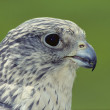 Stock Photo: Gyr Falcon