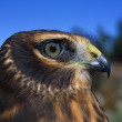 Stock Photo: Northern Harrier Raptor In Profile