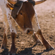 Rancher Roping Longhorn Cattle — Stock Photo #31682535