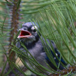 Stock Photo: Fledgling Blue Jay In Branch