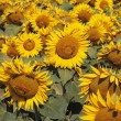 Field Of Sunflowers — Stock Photo #31683061