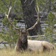 Stock Photo: Elk Buck
