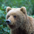 Stock Photo: AlaskBrown Bear