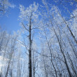 Stock Photo: Frost On Trees In Forest