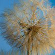 Close-Up Of Dandelion — Stock Photo #31684261
