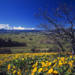 Stok fotoğraf: Blooming Yellow Flowers, Leafless Tree, Distant Green Meadow, Hood River Valley, Distant Mount Hood.