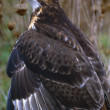 Stock Photo: Augur Buzzard