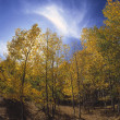 Stock Photo: Autumn Aspen Trees